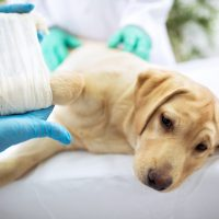 Sad,Labrator,With,Broken,Leg,At,Vet,Surgery